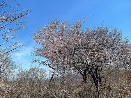 25_石割山_平尾山_桜.jpg
