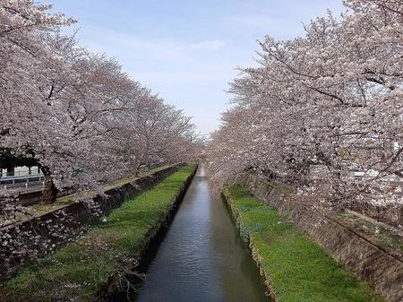 DEL_25_桜 - コピー.jpg